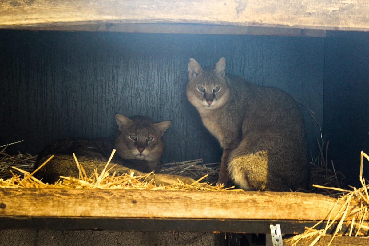 twee moeraskatten