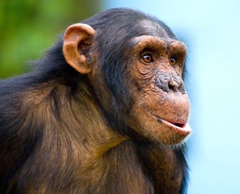 chimpansee con-khi kijkt in de verte