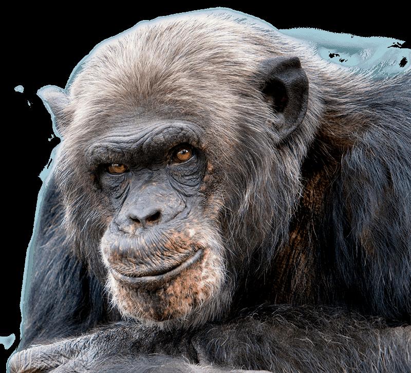 chimpansee jimmy kijkt recht in de de ogen