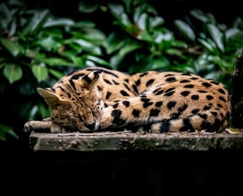 Serval Tonga ligt te slapen in het groen
